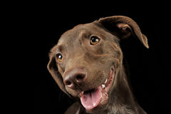 Beautiful flying ears mixed breed dog portrait in black backgrou Stock Photography