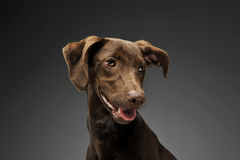 Beautiful flying ears mixed breed dog portrait in gray backgroun Royalty Free Stock Photo