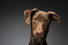 Beautiful flying ears mixed breed dog portrait in graybackground Stock Photos