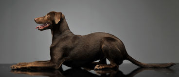Beautiful flying ears mixed breed dog relaxing in gray backgroun Royalty Free Stock Photo