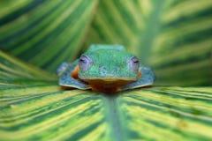 Beautiful flying frog sleeping. Flying frogs fall asleep on leaf Royalty Free Stock Photography