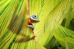 Beautiful flying frogs among the green leaves. Tree frog, Beautiful flying frogs among the green leaves Royalty Free Stock Images
