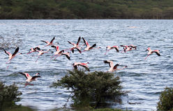Beautiful flying Lesser Flamingos, lake Naivasha Royalty Free Stock Images