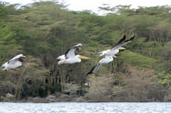 Beautiful flying Great white Pelicans Stock Photos