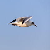 Beautiful flying seagull Royalty Free Stock Images