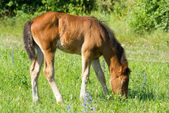 Beautiful foal. Pasture on a meadow Royalty Free Stock Photo