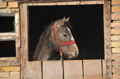 Beautiful foal in the barn. Stable Stock Image