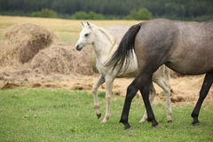 Beautiful foal with mare on pasturage Royalty Free Stock Images