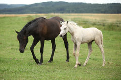 Beautiful foal with mare on pasturage Royalty Free Stock Photo