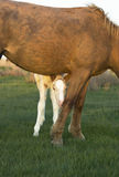 Beautiful foal with mother Stock Images