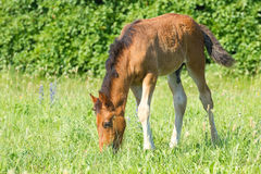 Beautiful foal pasture Royalty Free Stock Photo