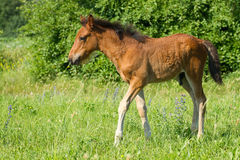 Beautiful foal. Pasture on a meadow Royalty Free Stock Images