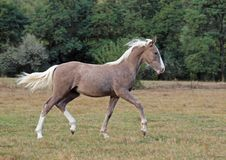 The beautiful foal  trots across the field Royalty Free Stock Photo