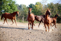 Beautiful foals playing in a pen on summer horse ranch. Thoroughbred young hungarian gidran stallions runs across in summer corral Stock Image