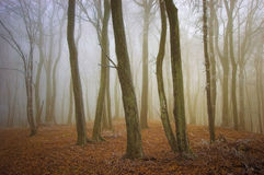 Beautiful foggy forest with frost and orange leaves in autumn Royalty Free Stock Images