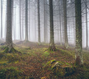 Beautiful foggy forest with pines Royalty Free Stock Images