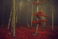 Beautiful foggy forest with red leaves Royalty Free Stock Photo