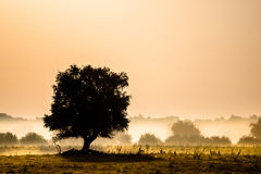 Beautiful foggy landscape. A solitary tree in a foggy field with yellow grass Royalty Free Stock Photography