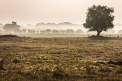 Beautiful foggy landscape. Solitary tree in a foggy field with yellow grass Stock Photo