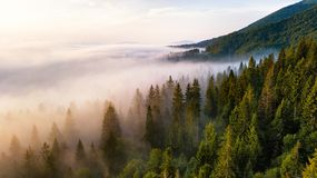 Beautiful foggy sunrise in mountains. Fir forest in clouds of mi royalty free stock photography