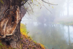 Beautiful foggy weather next to the river. With old tree trunk Stock Images
