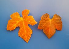 Beautiful foliage over blue. Autumn leaves in red and orange. stock photography