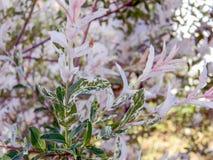Beautiful foliage of willow Hacuro-nishiki. Amazing multicoloured foliage of Salix integra Hacuro-nishiki, beautiful specie of willow with decorative variegated stock photos