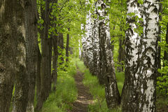 Beautiful footpath in the forest Royalty Free Stock Images