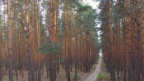 Beautiful footpath in pine forest. aerial survey stock footage