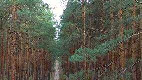 Beautiful footpath in pine forest. aerial survey stock video