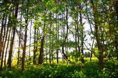 Beautiful forest. In the sunshine Stock Photos
