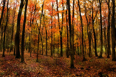 Beautiful forest. Beautiful leaf colors in forest in fall Stock Photos