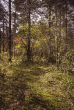 Beautiful forest. Alpine forest at an altitude of over 2,000 meters Stock Images