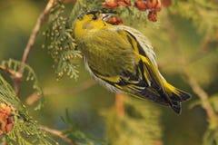 Beautiful forest bird sits on a fir Stock Photography