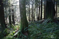 Beautiful forest of coastal British Columbia stock images