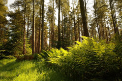 Beautiful forest with ferns Royalty Free Stock Image