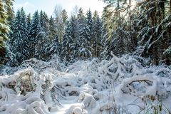Beautiful forest filled with lots of snow royalty free stock image