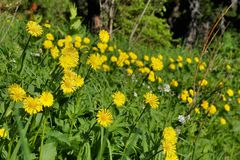 Beautiful forest flowers in the Siberian taiga. Khakassia. Beautiful forest flowers in the Siberian taiga. Siberia. Khakassia royalty free stock image