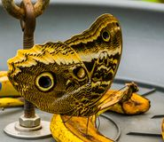 Beautiful forest giant owl butterfly sitting on a banana, colorful tropical insect from America, popular pet in entomoculture. A beautiful forest giant owl stock images