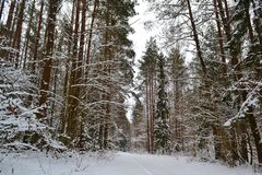 Beautiful forest landscape. Natural park. Forest pine trees background stock photos