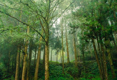 Beautiful forest with mist and fog Royalty Free Stock Photo