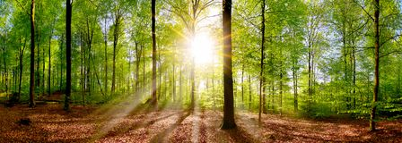 Idyllic forest at sunrise. Beautiful forest panorama in spring with bright sun shining through the trees stock photo