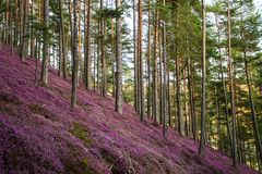 Forest with pink erika flowers stock photography