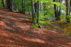 Beautiful forest scenery and autumn foliage Royalty Free Stock Image
