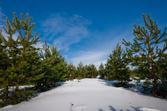 Beautiful forest of spruces Stock Image