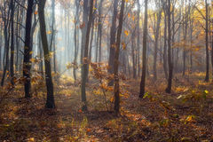 Beautiful forest with sunrays shining through. Beautiful autumn forest with sunrays shining through Royalty Free Stock Photography