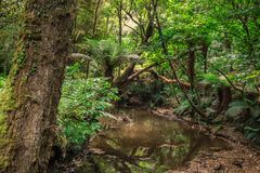 Beautiful forest tree. Beautiful tree in Catlins forest, New Zealand royalty free stock images
