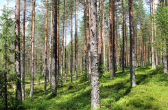 Beautiful forests of Finland. Beautiful nature and forests of Finland Stock Photo