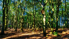 Free Beautiful Forests Of The Veluwe Region In The Netherlands Royalty Free Stock Images - 135869609