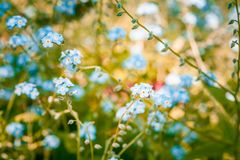 Beautiful forget-me-not flowers closeup in summer on blurred background. Beautiful forget-me-not flowers closeup in summer on blurred background Royalty Free Stock Photo